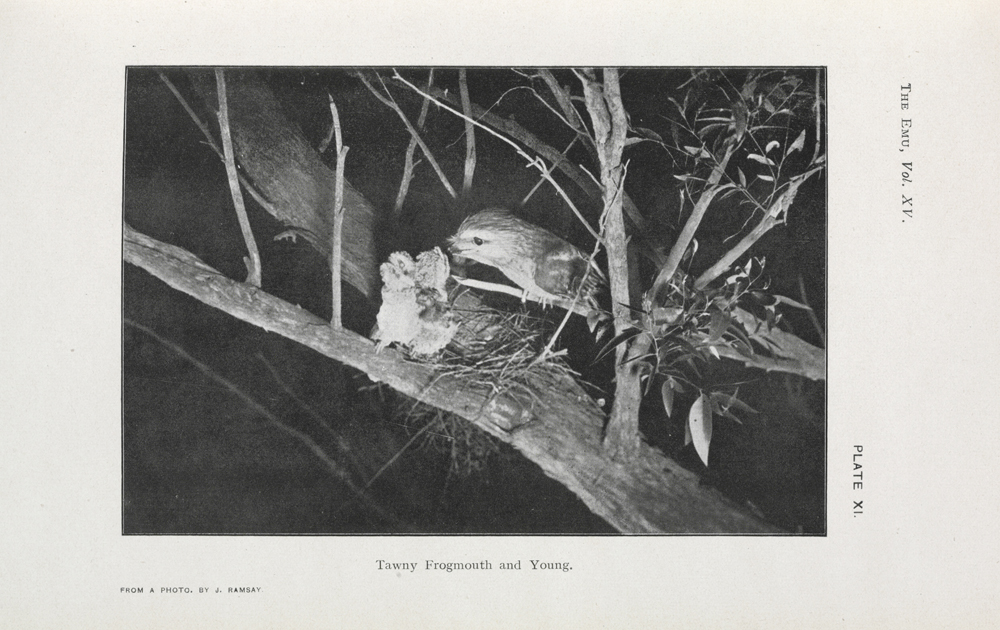 Fig. 1: J.S.P. Ramsay: Tawny Frogmouth and Young, The Emu 15:1, July 1915.